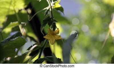 Yellow cucumber flower on the plant