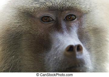 babuíno, olhar fixo