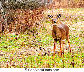 Whitetail Deer Doe - Whitetail deer doe standing at the...