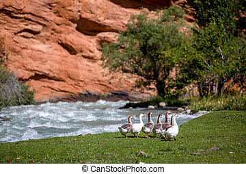 Group of geese walking down the river
