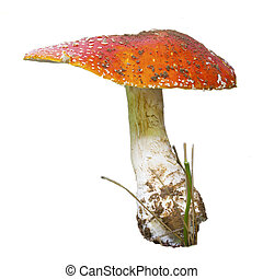 large red mushroom / toadstool isolated on white background