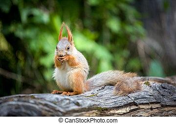 Cute squirrel eating nut