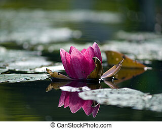 Pink Lotus in pond - Pink lotus blossoms in middle of pond