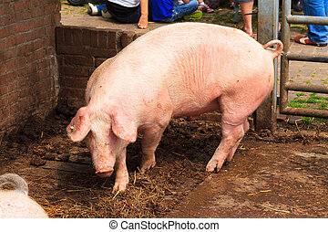 Dutch landrace, domestic pig (Sus scrofa domesticus), on a...