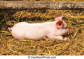 New born pig - Dutch landrace, domestic piglet Sus scrofa...