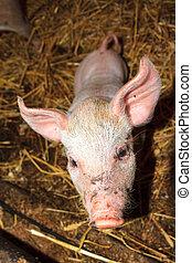 Piglet close up - Dutch landrace, domestic piglet (Sus...