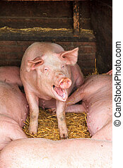Happy pig - Happy Dutch landrace, domestic pig Sus scrofa...