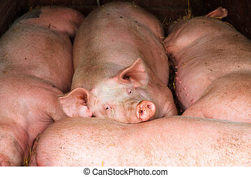 Lazy pigs - Lazy Dutch landrace, domestic pigs (Sus scrofa...