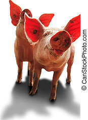 Happy dutch piglets on white - Dutch landrace, domestic...