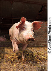 Dutch landrace pig front - Dutch landrace, domestic pig Sus...