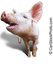 Happy pig on white - Dutch landrace, domestic pig (Sus...