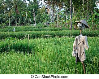 Scare-crow on Ricefield - Scare-crow on ricefield in Java,...