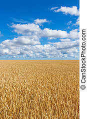 Rural landscape, wheat field under blue sky