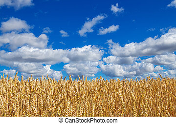 Wheat field under blue sky with clouds