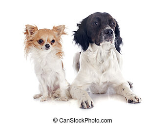 brittany spaniel and chihuahua - portrait of a brittany...