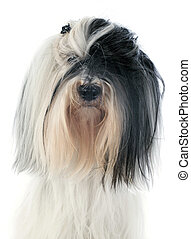 tibetan terrier in front of white background