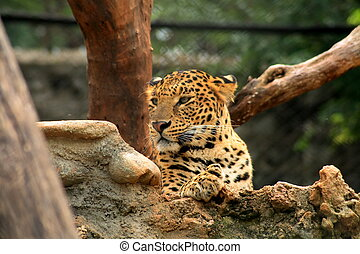 Tiger in zoo - A tiger watching in Mysore zoo.
