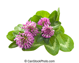 Clover flower - Red clover isolated on white