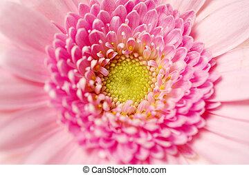 Close up shot of a pink gerbera