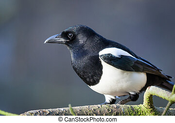 Magpie - Picture of a magpie