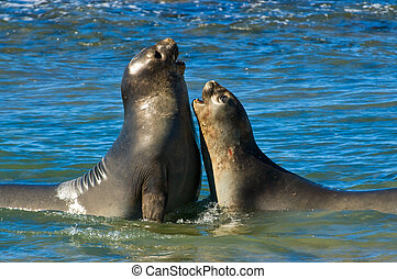 Elephant seal in the coast of Peninsula Valdes - Elephant...