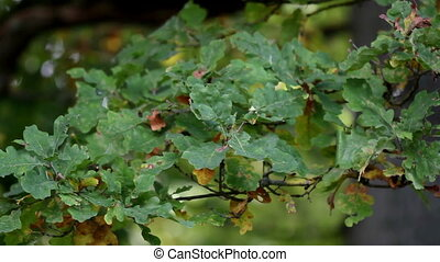 Green oak leaves and some are wilted - Green leaves and some...