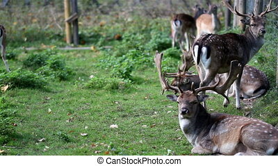 Herd of wild deer with antlers