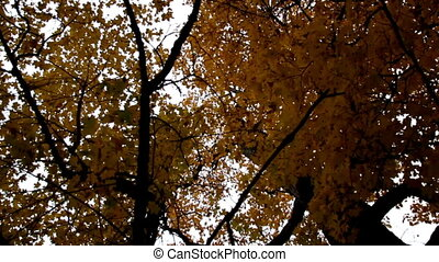 Upward view of the tall maple trees autumn park cinematic