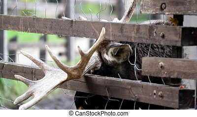 Other antler of the moose is stuck in between the fence. The...