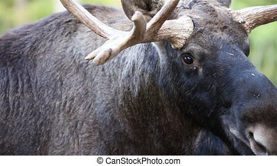 Up-close image of the moose with its big antlers where you...