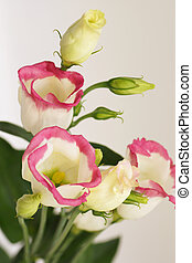 white flowers with a pink border