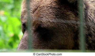 Grizzly brown bear safe in the cage - Grizzly bear safe in...