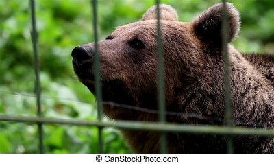 Grizzly brown bear smelling - Grizzly bear smelling for...