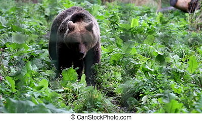 Grizzly brown bear walking in the green luscious area -...
