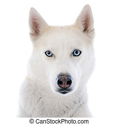 siberian husky - portrait of a beautiful purebred siberian...