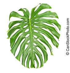 Bright tropical leaf close up with holes isolated on white