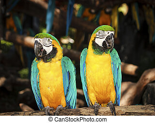 Couple blue-yellow macaw