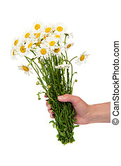 The female hand holding a bouquet of camomile - The female...