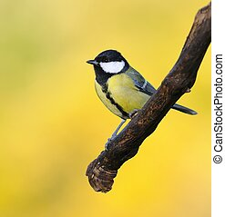 Great tit on yellow background. - Great tit, Parus major on...