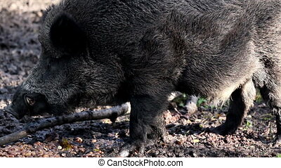 Black wild boar chewing on something as it wriggles its cute...