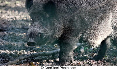 Wild boar chewing on something while looking around his...