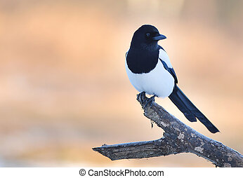 Magpie, Pica pica, single bird on branch over delicate...