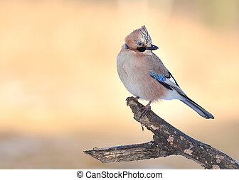 Jay bird sitting on branch over sunny morning background