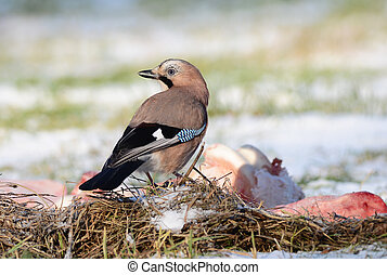 Jay bird on winter ground eating carcass