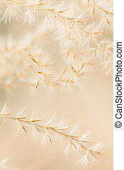 Miscanthus sinensis - Close up of ornamental grass seed head...