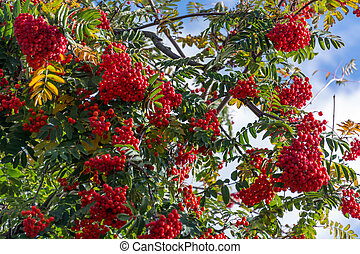 Fruit of the Rowan or Moutain Ash Tree
