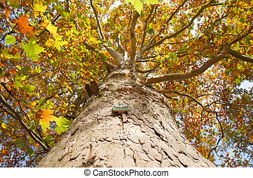 Plane tree - Autumnal old plane tree in Poland. Natural...