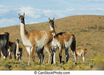 Guanaco lama guanicoe - Guanaco lama guanicoe in Patagonia,...