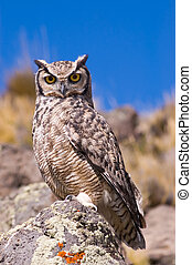 Great Horned Owl. - Great Horned Owl (Bubo Virginianus) in...