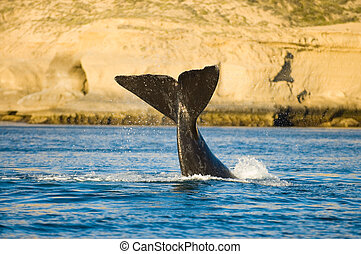 Right whale, Peninsula Valdes, Patagonia, Argentina.